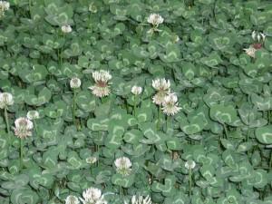 1280px-TrifoliumRepensFlowers
